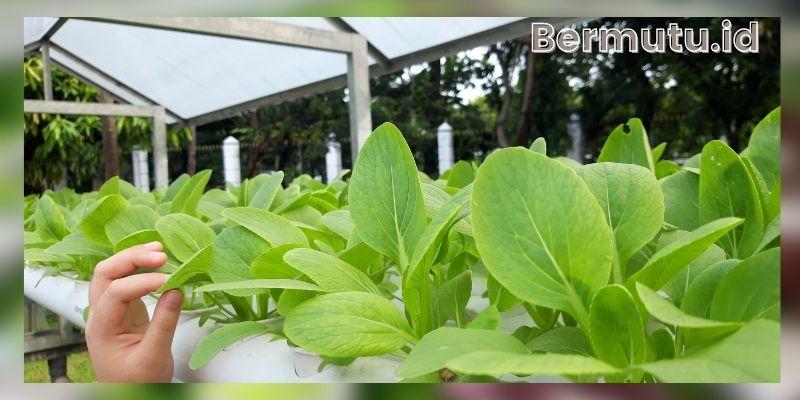 Keunggulan Bercocok Tanam Hidroponik - hasil panen yang maksimal