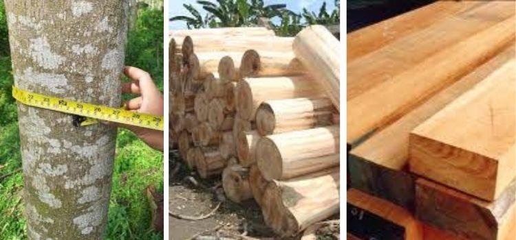 jenis kayu albasia