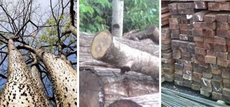 jenis kayu rasamala