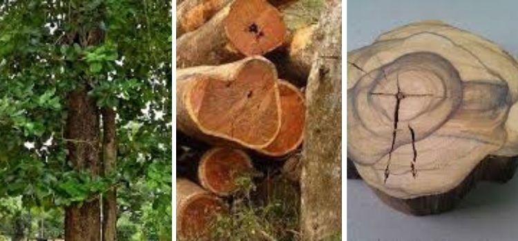 jenis kayu cendana