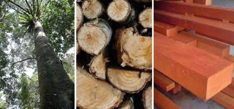 jenis kayu meranti merah