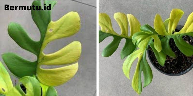 Philodendron Minima Varieagata