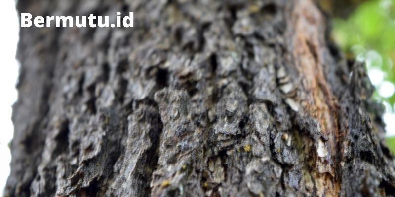 pohon kayu merbau