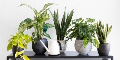 tips merawat tanaman hias indoor