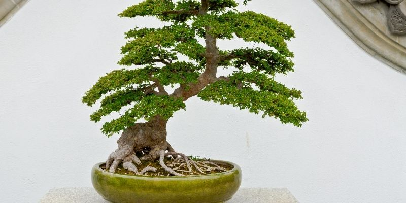 manfaat memelihara bonsai