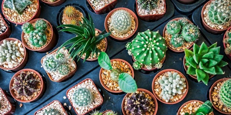 jenis-jenis tanaman kaktus