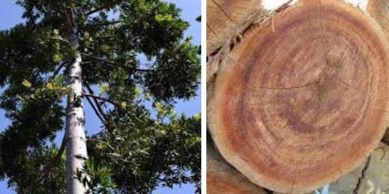 pohon kayu keruing