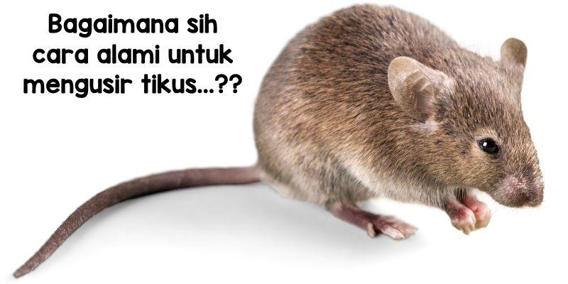 tips alami mengusir tikus